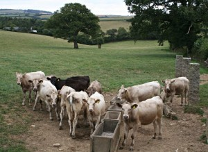 group of cattle waiting to get fed
