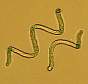 microscope image of spirulina