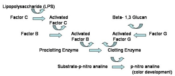 digestive enzyme cascade reactions