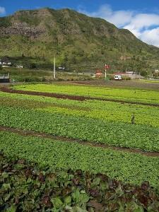 field of lettuces growing