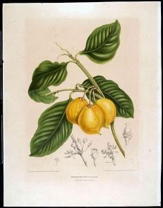 Garcinia fruit drawing