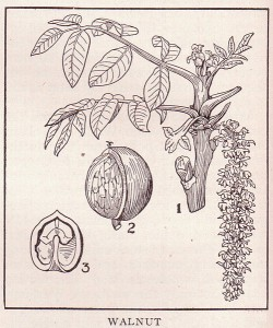 walnut tree drawing, walnut in shell and walnut half