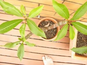 frangipani growing in pot plant