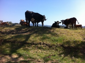 group of cows sitting in the shade