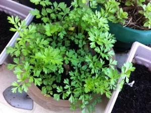 pot of flat leaf parsley